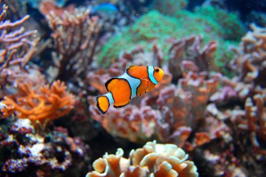 """Universeum: il pesce """"pagliaccio"""""""