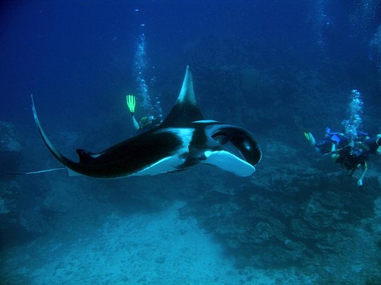 Oceanic Divecenter: Lucky lucky, Manta ray on dive. WOW