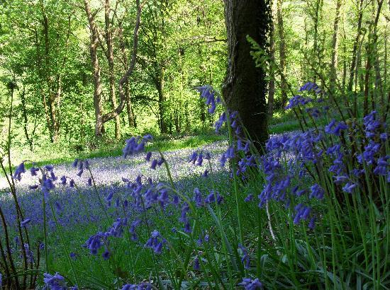 Lobhill Farmhouse: Bluebell woods in May