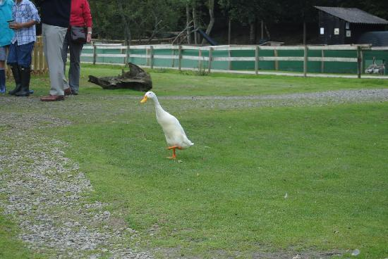 Tamar Otter and Wildlife Centre: Indian running duck