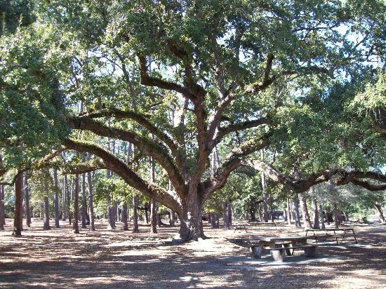 Dauphin Island Harbor House: A huge goat tree at the preserve