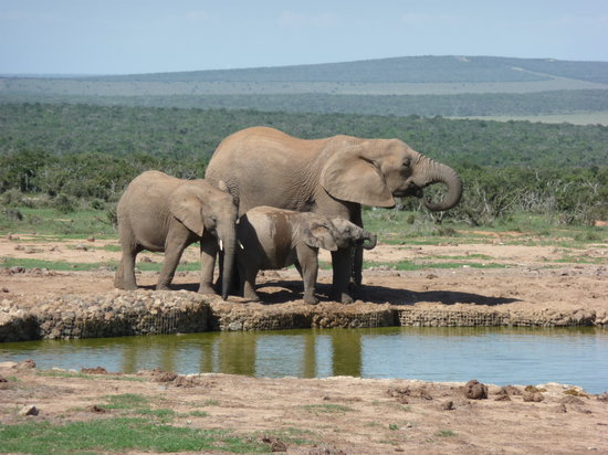 Addo Rest Camp: Addo Elephants