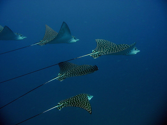 ‪‪St. George's‬, ‪Grenada‬: Eagle Rays at the Bianca C‬