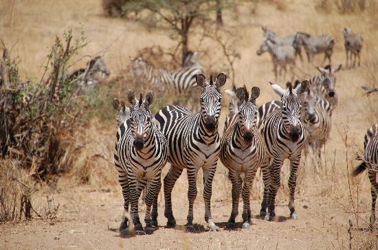 Kikoti Safari Camp: Zebra at Tarangire