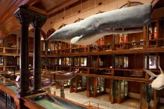 The newly-restored Hawaiian Hall features a 50-foot sperm whale suspended from the ceiling.
