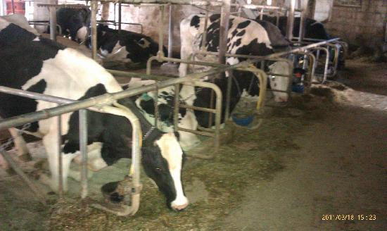 Amish Country: amish dairy farm cattle