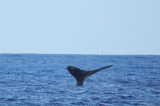 Royal Lahaina Resort: Whale waving at us from shore!