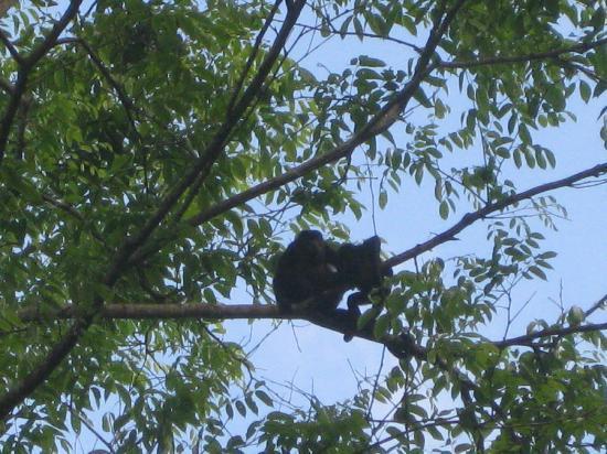 Korrigan Lodge: Howler Monkeys In Morning