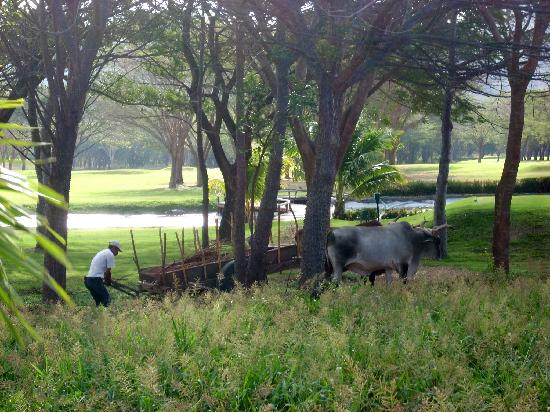 Hacienda Iguana: oxen on the golf course