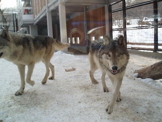 Maruyama Zoo: オオカミだぞー