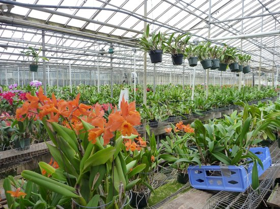 Orchids by Hausermann: Cattelaya type grow area