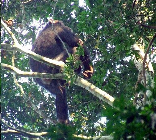 Queen Elizabeth National Park, Uganda: Chimp in the Kyambura Gorge