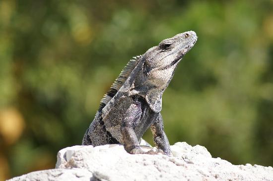 Iberostar Paraiso Maya: Iguane