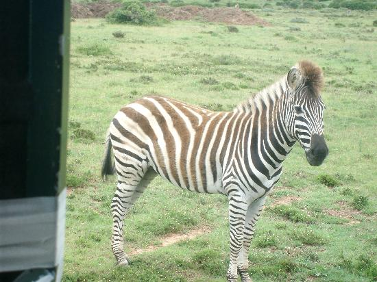 Schotia Safaris Private Game Reserve: Zebra Up Close and Personal