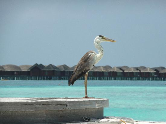 Naladhu Resort Maldives: A local resident