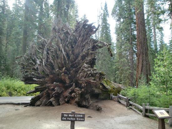 Mariposa Grove of Giant Sequoias: Entwurzelter Sequoia