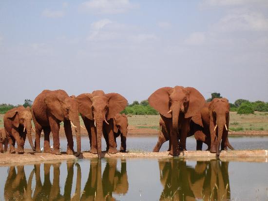 Clubviaggi Resort Twiga Beach & SPA : Elefanti al Tsavo Est