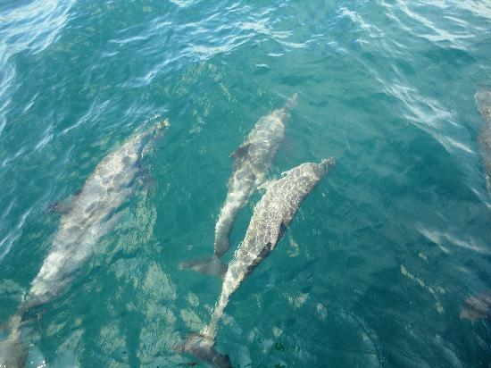 Manta Ray Sailing: Dolphins that were following the boat
