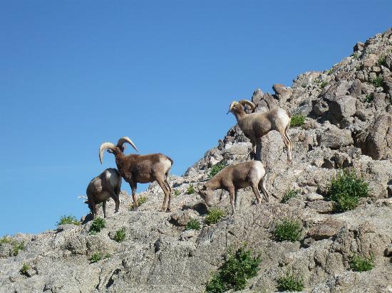 Palm Desert, CA: Bighorn sheep, Living Desert