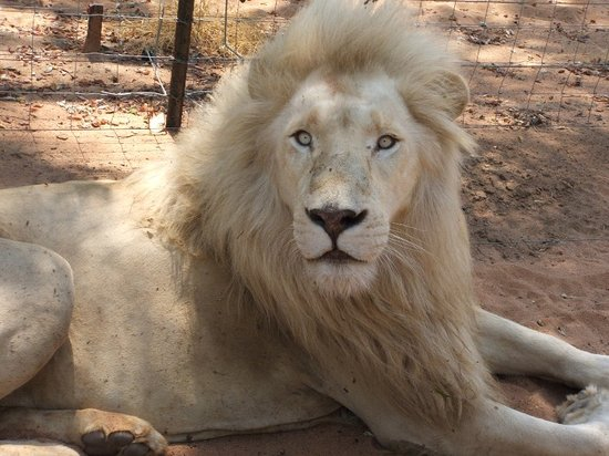 Mama Tau White Lions Breeding Project: White Male Splendour.