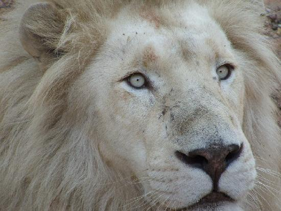 Mama Tau White Lions Breeding Project: Stunning