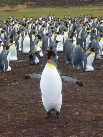 East Falkland, Ilhas Malvinas: king penguins at Volunteer Point