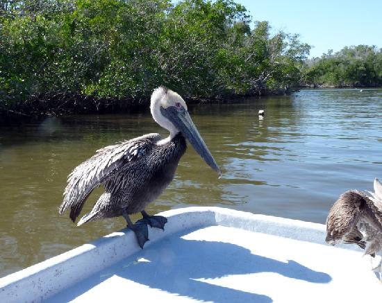 Air Boat USA: Pelican hitching a ride.