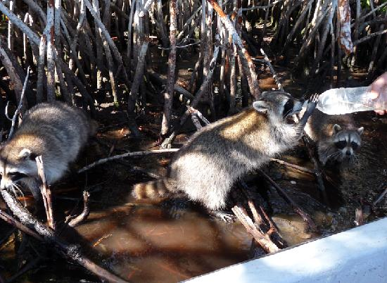 Totch's Everglades Island Airboat Tours: Racoon.