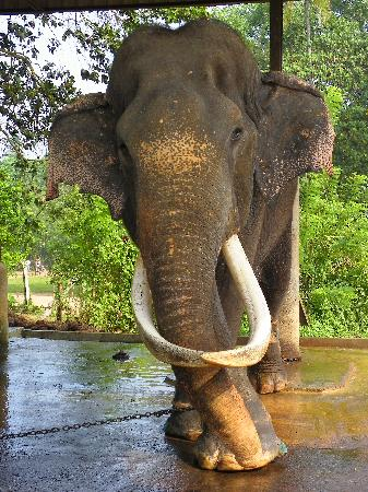Club Palm Bay Hotel: Elephant Orphanage oldest inmate at 60 years.
