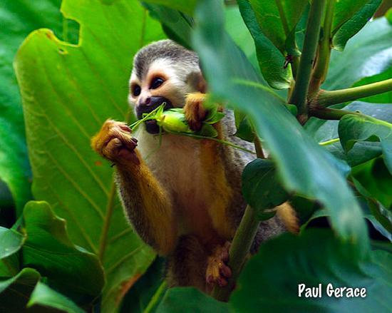 Tulemar Bungalows & Villas: Squirrel monkey near the pool