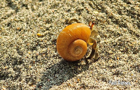 Tulemar Bungalows & Villas: Hermit crab on beach.