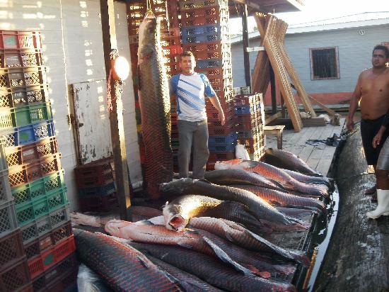 Hotel Pirarucú: Varios tamaños de pescado PIRARUCU