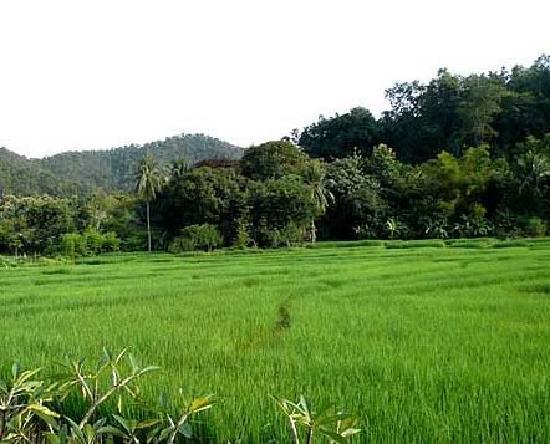 Gims Resort : Rice Fields at backyard