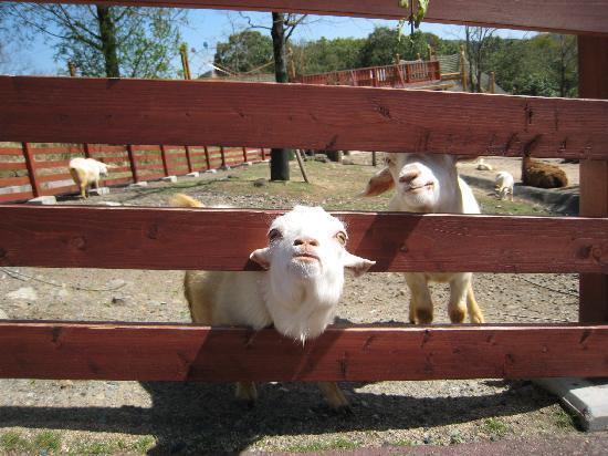 Akiyoshidai Safari Land : エサを求めるヤギ