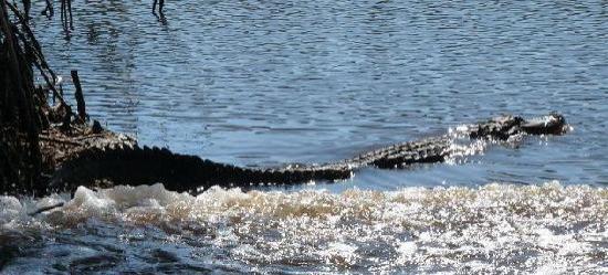 Totch's Everglades Island Airboat Tours: Alligator