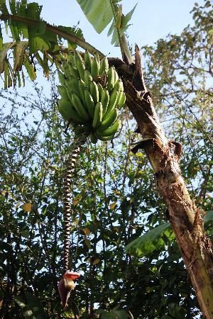 Terrazas de Golf Boutique Hotel: Fresh bananas in back garden