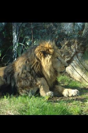 Bristol Zoo Gardens: Lovely Lion