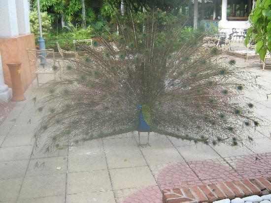 Iberostar Costa Dorada: one of two peacocks on resort..no need for alarm clock