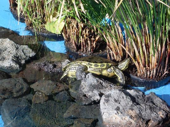 Hotel Coronas Playa: Turtles in the hotel grounds