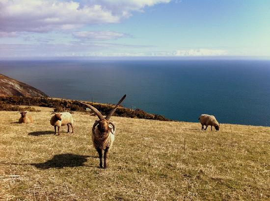 Isla de Man, UK: Loaghtan sheep