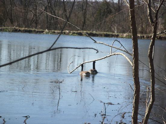 Battlefield Bed and Breakfast Inn: Geese on the pond,