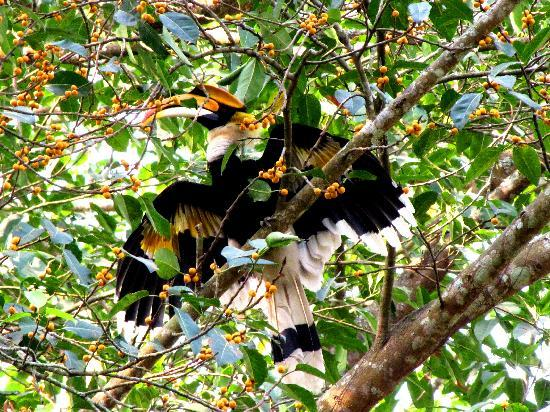 Wild Grass Lodge: great indian hornbill