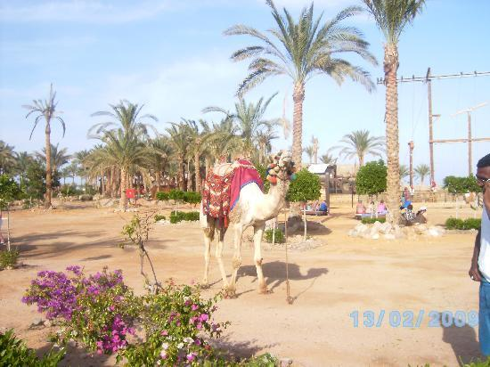 Coral Sea Holiday Village: Camel Rides