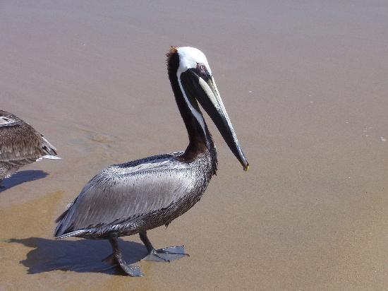 Decameron Los Cocos: Pedro el Pelicano