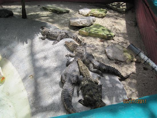 Puerto Morelos, Mexico: Looking at the crocs.