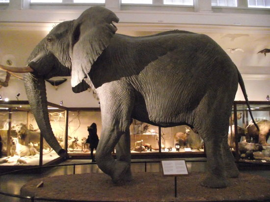 The Natural History Museum: elephant