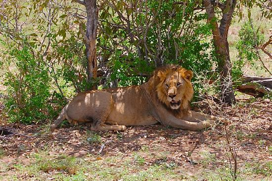 Turtle Bay Beach Club: A Lion in Amboseli