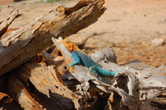 Turtle Bay Beach Club: A Multi-Colored Lizard in Tsavo