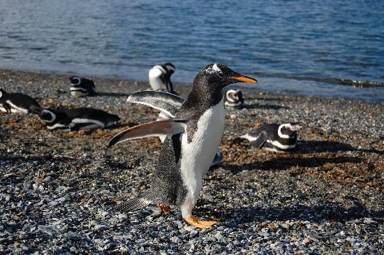 Canal de Beagle et promenade avec des pingouins (hiver) : Penguin