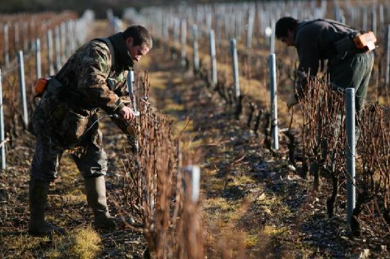 Thauvenay, France: Taille de la vigne